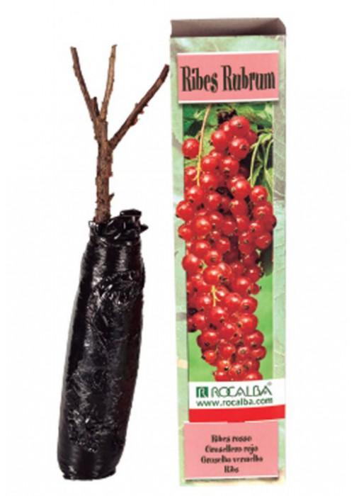RIBES RUBRUM -Grosellero Rojo