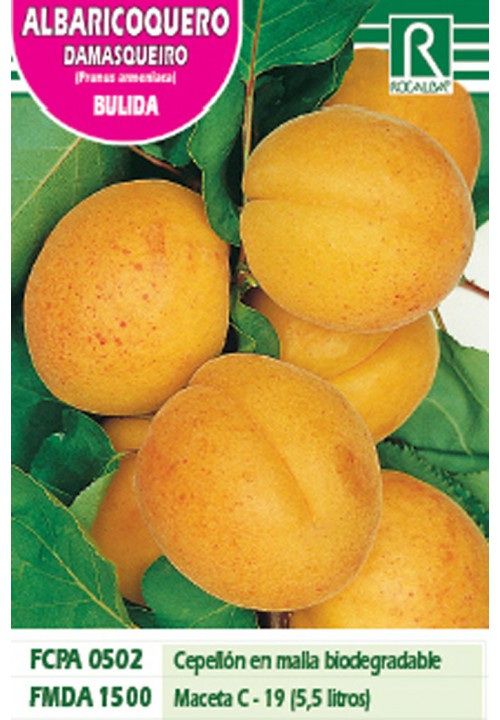 APRICOT BULIDA -REDDISH YELLOW-