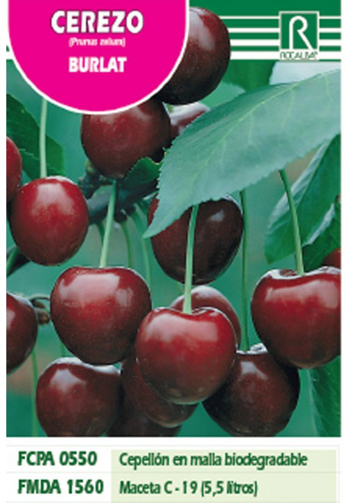 CHERRY BURLAT -PURPLE RED-