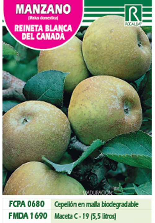 APPLE REE REINETA BLANCA DEL CANADA -YELLOW-
