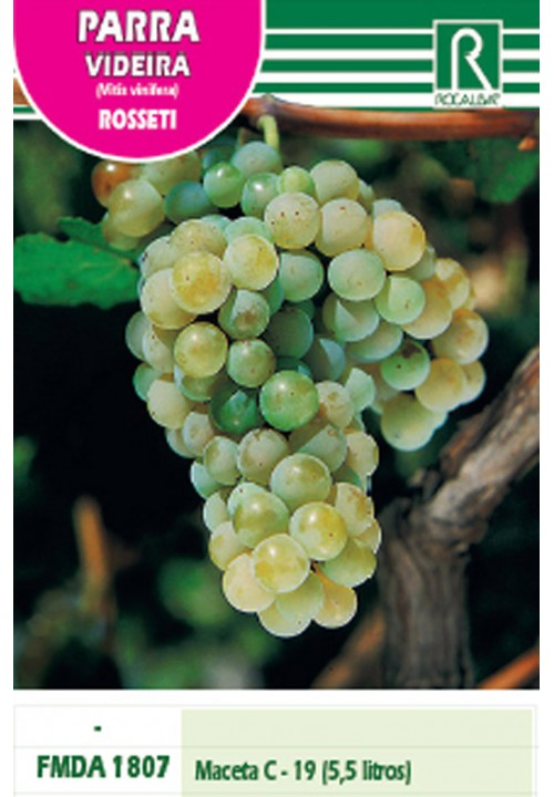 VINE ROSSETI -GOLDEN OVAL SHAPED-