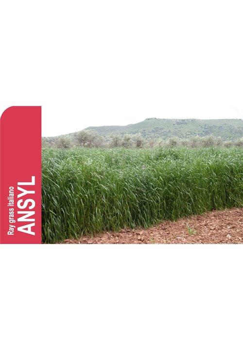 SEMILLA RAY GRASS ITALIANO ANSYL R-1