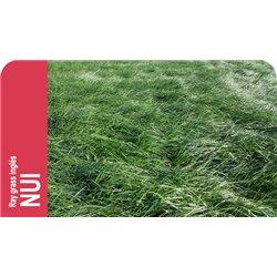 SEMILLA RAY GRASS INGLES NUI