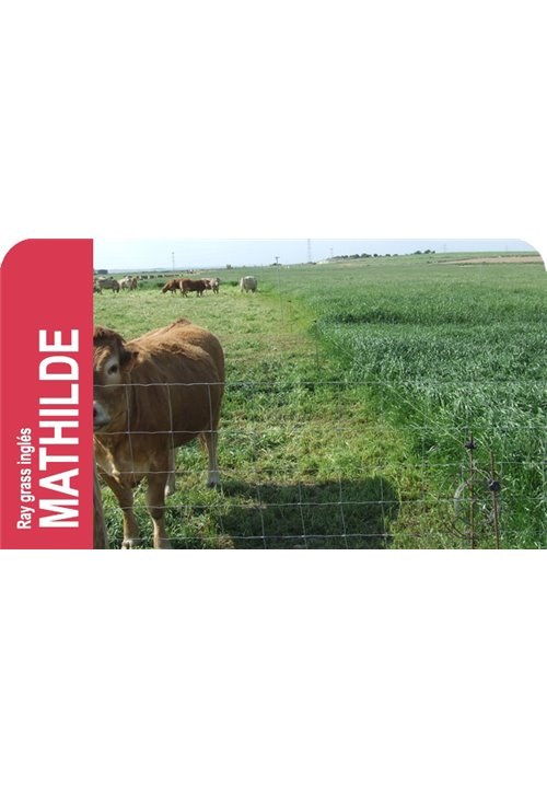 SEMILLA RAY-GRASS INGLES MATHILDE