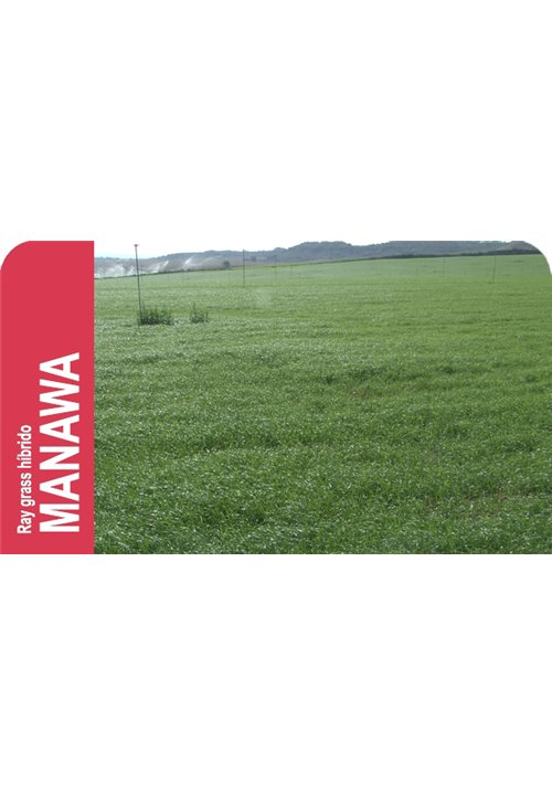 SEMILLA RAY GRASS HIBRIDO MANAWA