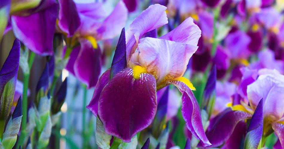 lirio-iris-germanica-portada