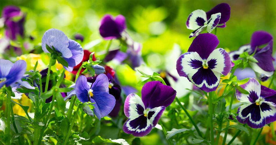 pensamientos-jardin-otoño-rocalba