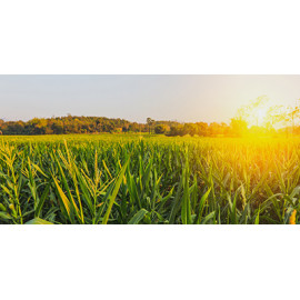Maïs ensilage