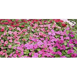Semillas de flores